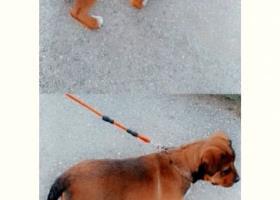 Rottweiler mix Americký stafordšírsky teriér
