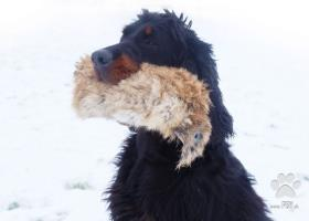 Gordon Seter - šteniatko s PP
