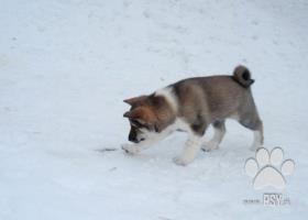Kúpim šteňa - pes -  západosibírska lajka
