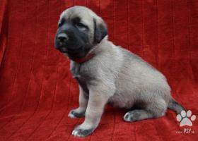 Kangal-Kangalský pastiersky pes s PP
