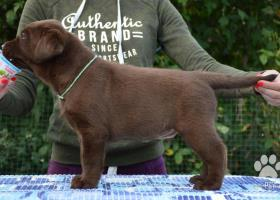 Chocolate puppies labrador retriever / Kennel FCI