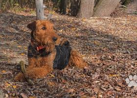 Airedale terrier - rezervácia šteniatok s PP