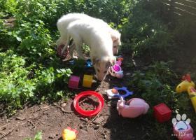 Barzoj biele šteniatka