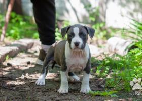 Americký stafordšírsky teriér šteňa