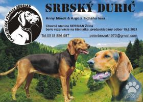 Srbský durič - šteniatka na predaj