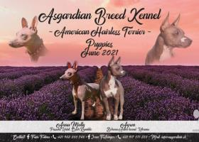 American Hairless Terrier - free for reservation