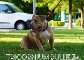 Tricornium bulliez