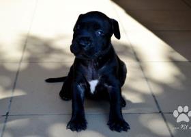 American Pit Bullterrier Puppies na predaj