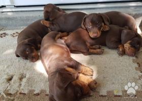 Predám nádherné 8 týždňové šteniatka - 2 psikov