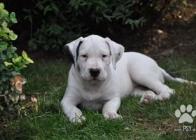 Ponuka - šteňatá Argentínskej dogy od ocenených ro