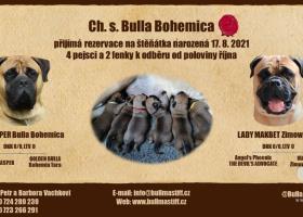 Šteniátka Bullmastiff