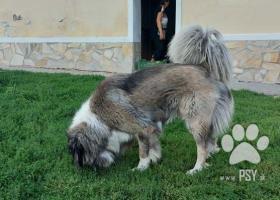 Darujem mladého krásneho Kaukazského ovčiaka