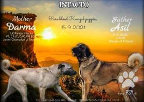 Kangal/Kangalský pastiersky pes