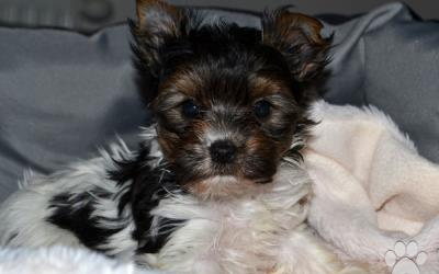 Biewer Yorkshire terrier - psík s PP